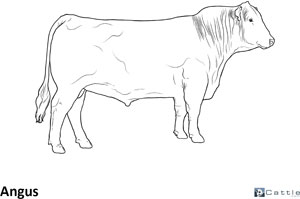 Cattle Breed Coloring Pages Angus