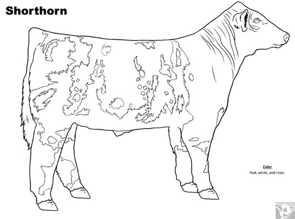 Cattle Breed Coloring Pages - Shorthorn