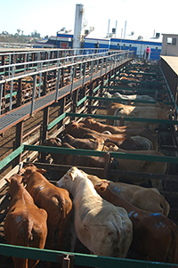 South Carolina cattle prices